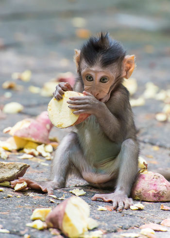 Cute baby macaque (Macaca fascicularis) eating a sweet potato at the Sacred Monkey Forest Sanctuary in Ubud, Bali, Indonesia. EyeEmNewHere Ubud, Bali Adorable Adorable Animals Animal Themes Animal Wildlife Animals In The Wild Baby Monkey Close-up Cute Cute Animals Eating Growing Up Infant Macaque Mammal Monkey One Animal Sacred Monkey Forest Sanctuary Tourism Travel Destinations Ubud Young Animal EyeEmNewHere