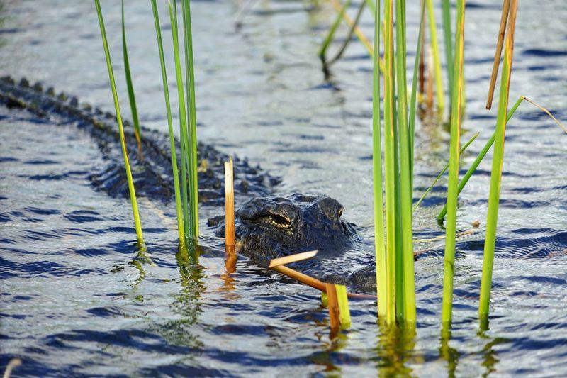 Alligator USA
