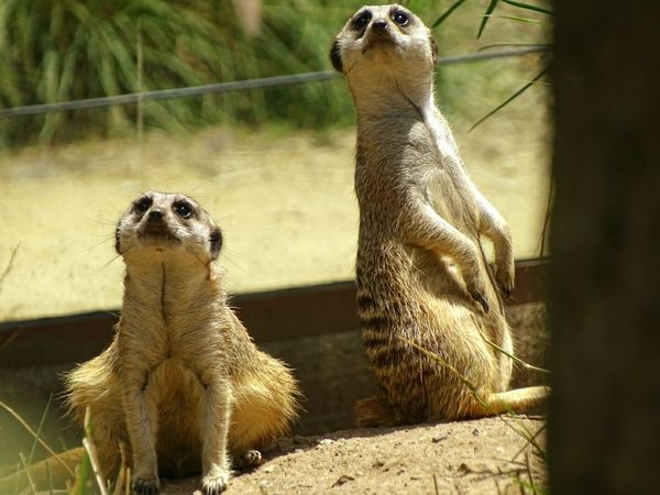 Meerkat Meerkats Zoo Oakland Animals Family Staring