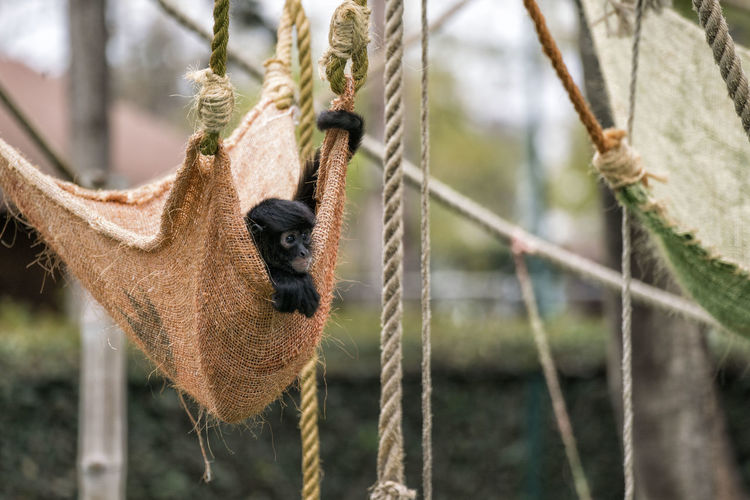 A spider monkey (Ateles Geoffroyi) rests in a hammock inside his shelter at the local zoo. Ateles Geoffroyi Nature Zoo Animal Animal Themes Close Up No People Outdoors Spider Monkey