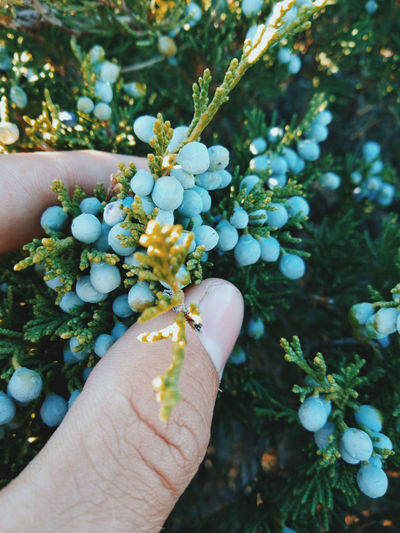 Close-Up Of Hand Holding Berries On Plant