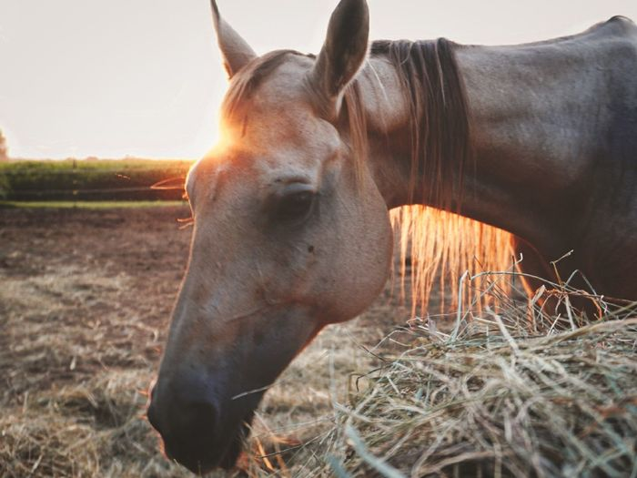 Horse eating hay in the sunset