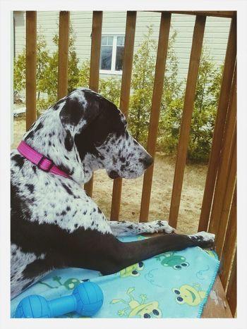 Greatdane Dog Mybeautifuldog Doglover
