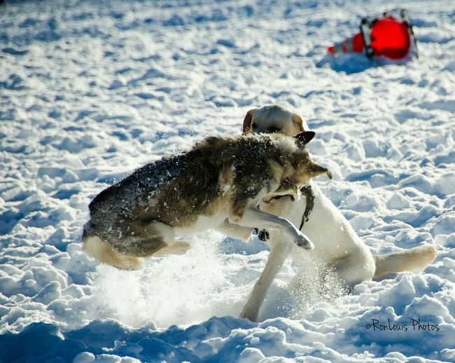 Blizzard 2016 Dog Playing Fort Greene Park Brooklyn New York City New York Dogs Snow After The Storm After The Blizzard Ronlouisphotos Ronlouisdesigns Urbanphotography City Life