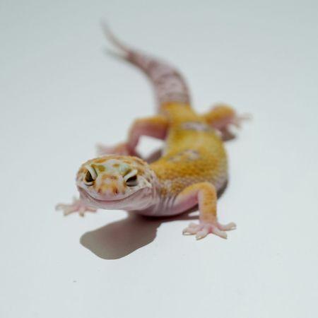Depth Of Field Ghecko Animals Gecko Reptiles Reptile Leopard Gecko Leopardgecko Pets Corner