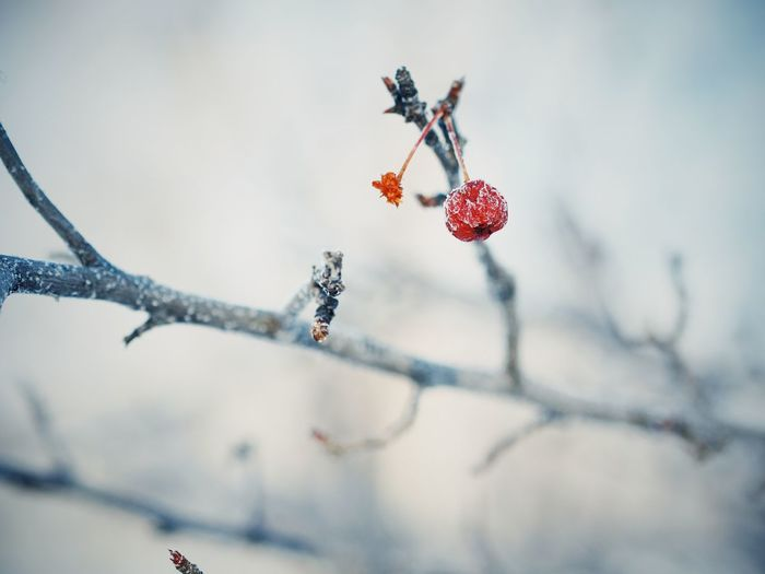 Close-up of frozen raspberry on tree