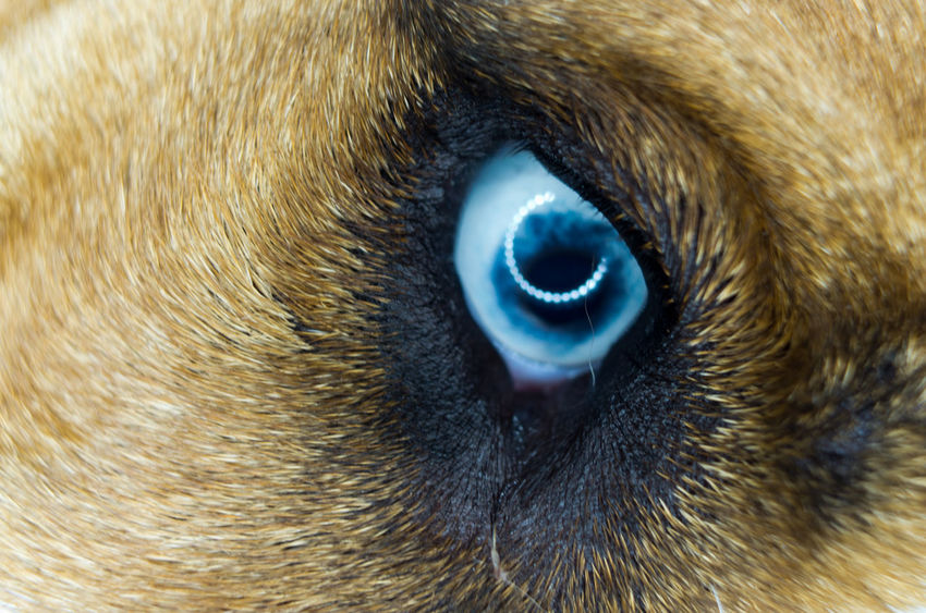 Beautiful Blue Eye Animal Body Part Animal Eye Animal Themes Beautiful Blue Blue Eyes Close-up Dog Dog Eye Dog Love Domestic Animals Extreme Close-up Eye Eyeball Fur Iris - Eye Lowlight Macro Macro Photography Mammal Night Nightphotography One Animal Outdoors Pets