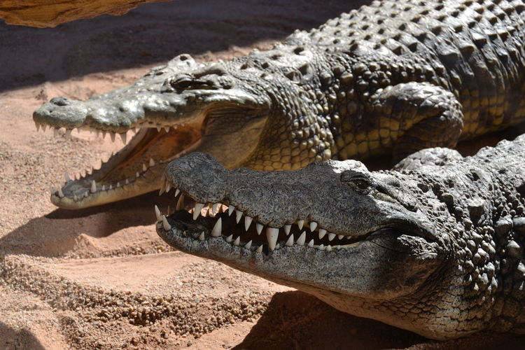 Close-up of crocodile