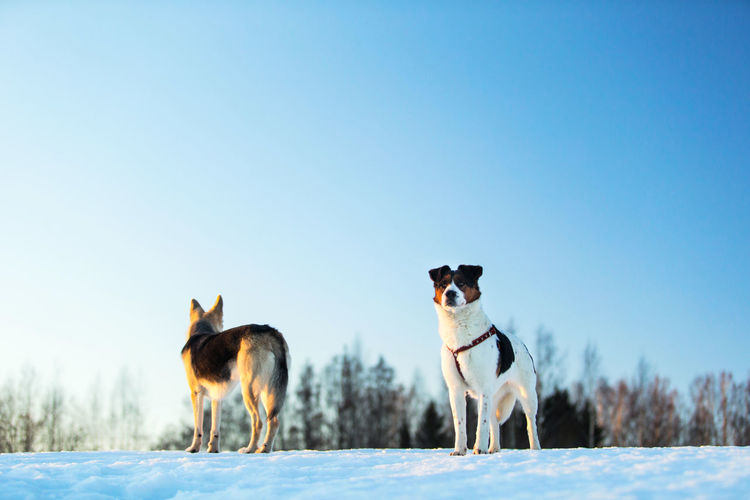 Dogs standing on snow covered land
