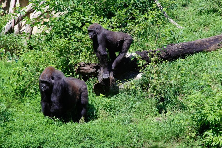 Animal Animal Themes Mammal Group Of Animals Plant Animals In The Wild Vertebrate Animal Wildlife Green Color Nature Grass Day No People Two Animals Young Animal Black Color Outdoors Land