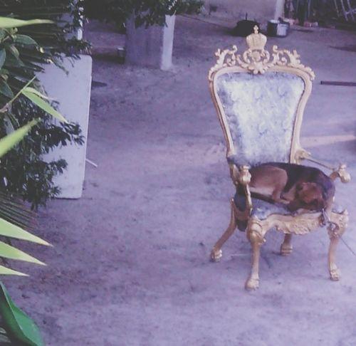 собака пес царь  трон