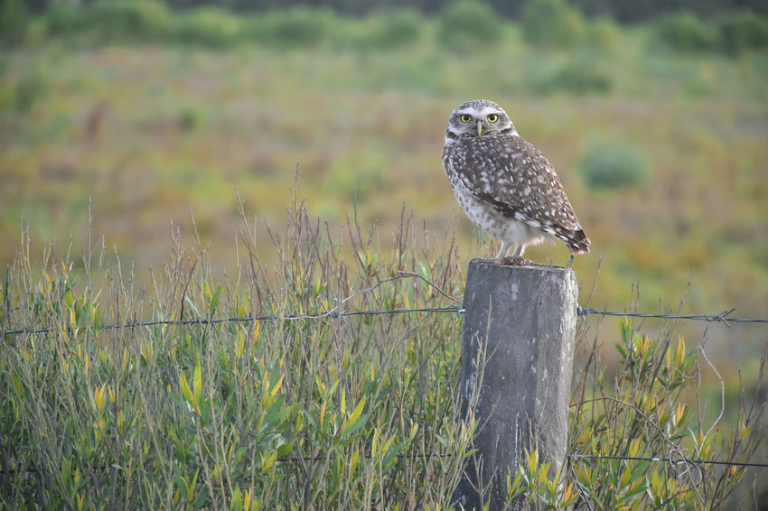 Owl standing on the post of a fence in the countryside Post Animal Animal Themes Animal Wildlife Animals In The Wild Barn Owl Bird Country Life Countryside Day Fence Fencepost Focus On Foreground Nature No People One Animal Outdoors Owl Perching Plant Post Screech Owl Vertebrate Wild Bird Wooden Post Summer Road Tripping