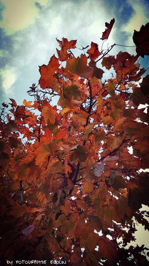 Autumn¡TIME Nature Beauty In Nature Autumn Tree Cloud - Sky Outdoors Landscape Leaf Sky Day Maple Leaf Scenics Love Photography Love Nature Detail Nature Moments Goldenmoments Forest Adventure Red Moments Of Color One Person