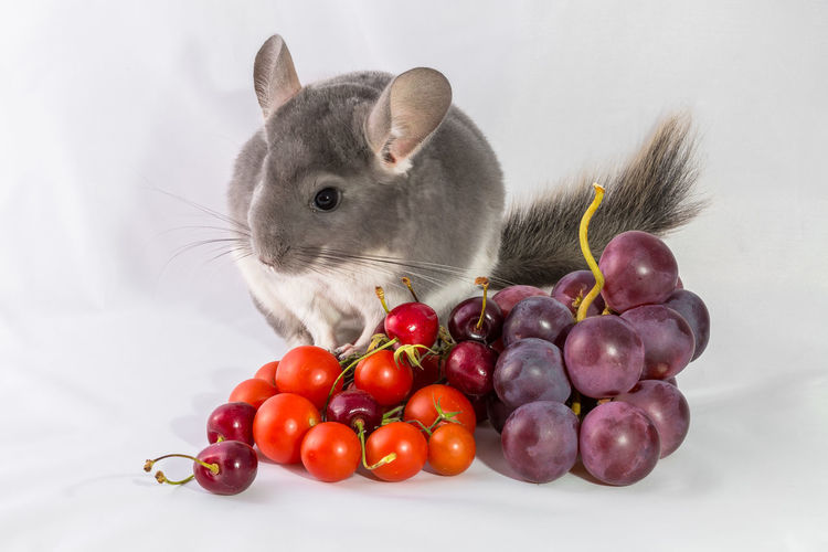 Close-up of food and rodent against gray background