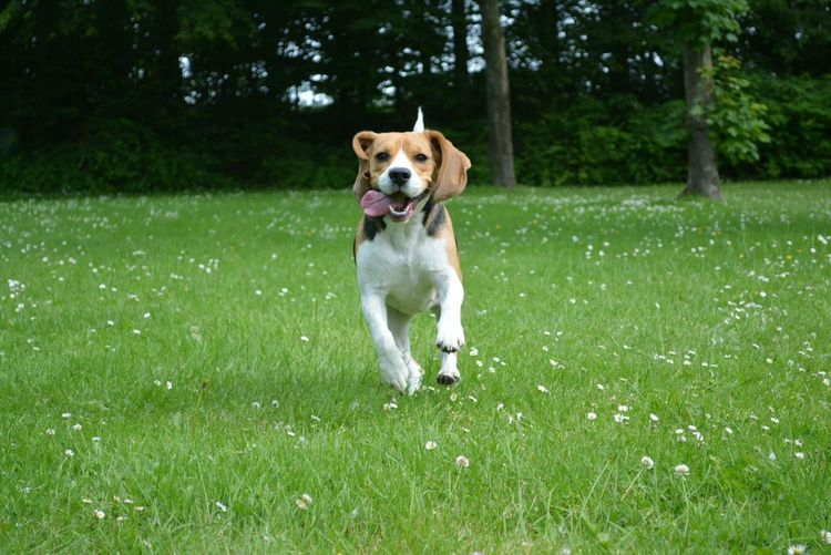 My dog - Luna. This is a original photo. No filters. Nofilter Mydog Animals Animal Backgrounds Beagle Dogsmiles Smile Cheese! Enjoying Life Mylove
