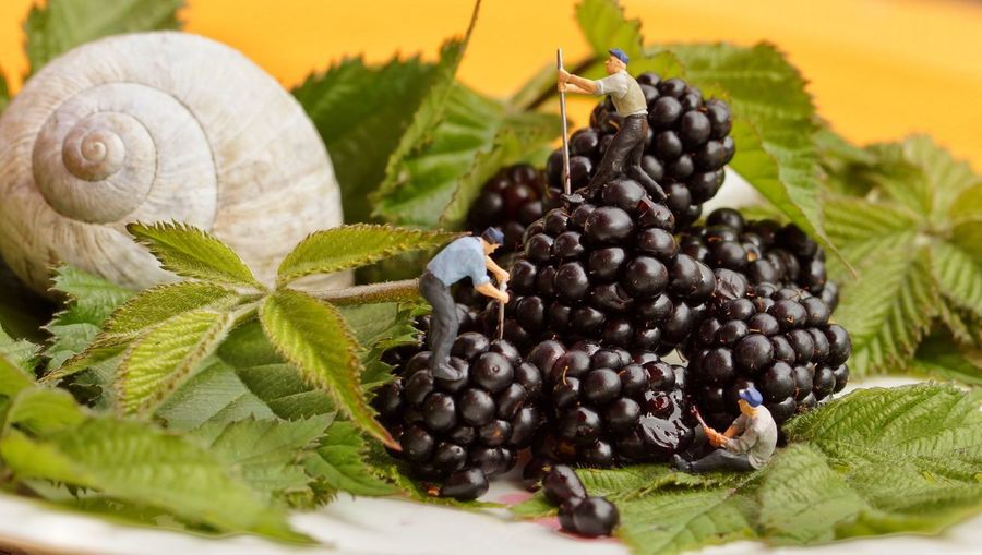 Manual workers on blackberries with leaves and seashell