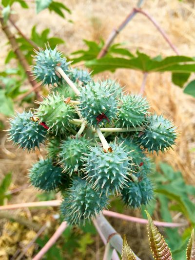 Native Bush: Thorny Thorny Bush Bushland Spiky Flora Plant Green Nature Western Australia Botanical Garden Ball Round Fruit Nut Bushtucker Rough Nature Photography Details In Nature Closeup Cluster Group Textured  Pokey