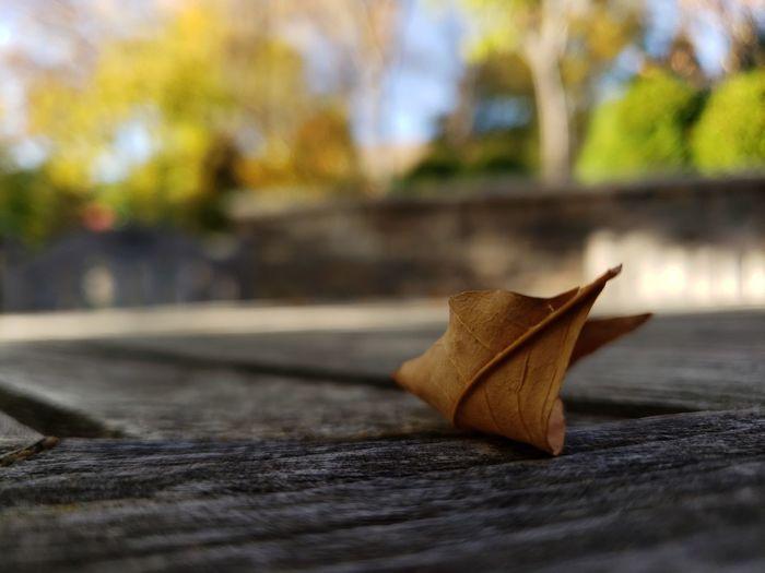 Close-up of maple leaf on wood