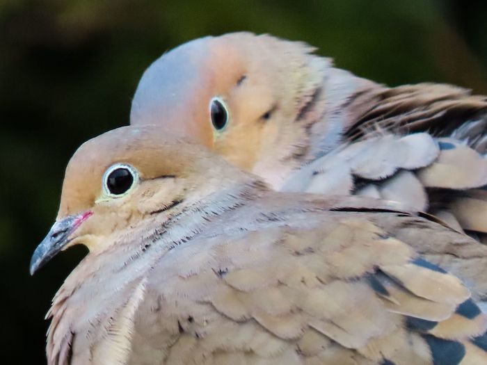 Mourning doves two birds Birds of EyeEm closeup beauty in nature outdoors focus on the foreground Animal Themes No People