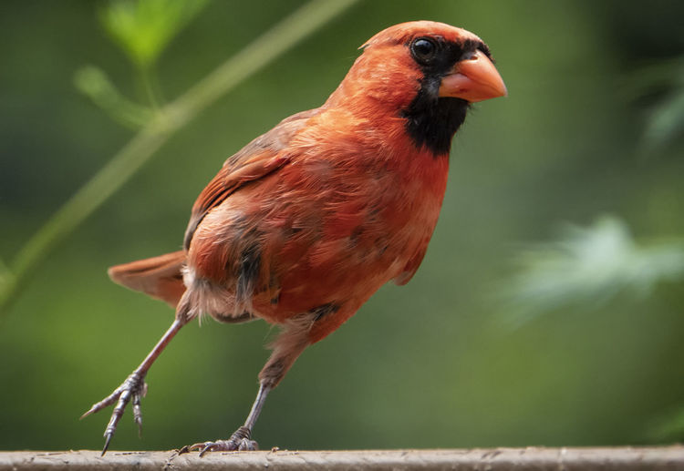 Close-up of cardinal on plant