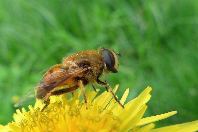 Honeybee Bee HoneyBee Chrysanthemums Countryside Insert Spring Flowers SpringSeason