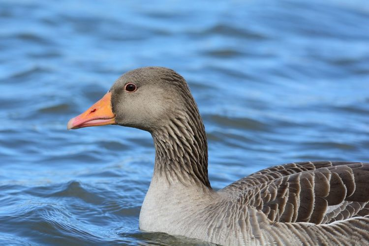 Close-up of goose swimming in lake