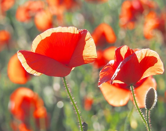 Poppies Flower Beauty In Nature Growth Orange Color Nature Focus On Foreground Petal Plant Outdoors No People Day Fragility Close-up Blooming Flower Head Red Freshness