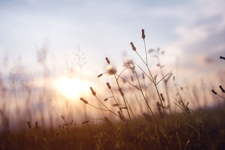 Evening autumn nature background, beautiful meadow dandelion flowers in field on orange sunset. vintage filter effect Sunlight Beauty In Nature Close-up Dandelion Field Flower Flowers Grass Growth Nature No People Outdoors Plant Rural Scene Scenics Shillouette Sky Sun Sunlight Sunset Tranquil Scene Tranquility Vintage Wild Flowers