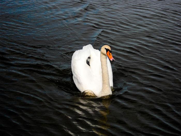 Animal Themes Animal Wildlife Animals In The Wild Bird Day Lake Nature No People One Animal Outdoors Swan Swimming Water Water Bird White Swan