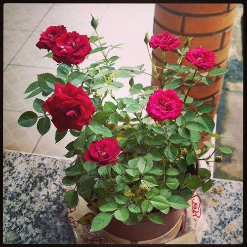 Minha mini roseira tá a cada dia mais bela. Parecendo o pequeno príncipe. Minirosa Rosavermelha Flores Felicidade cuidandodomeujardim
