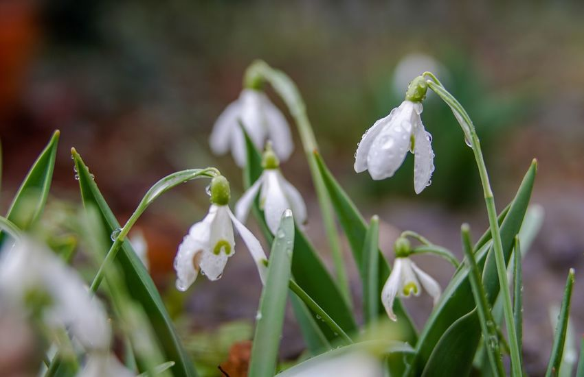 Beauty In Nature Blooming Close-up Day Flower Flower Head Fragility Freshness Green Color Growth Nature No People Outdoors Petal Plant Snowdrop White Color