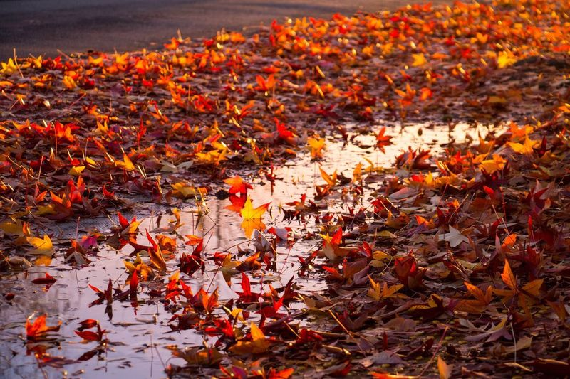 Autumn Leaf Change Orange Color Nature Leaves Beauty In Nature Outdoors No People Tranquility Maple Leaf Red Day Maple