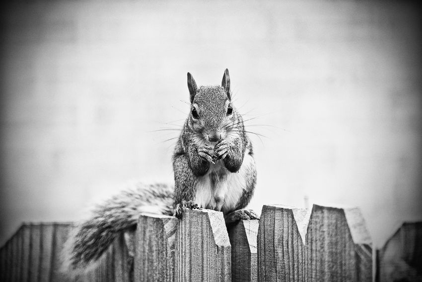 The Squirrel Outside our Window Animal Photography Animal_collection Animals Animals In The Wild Black & White Black And White Black&white Blackandwhite Blackandwhite Photography Close-up Closeup EyeEm Nature Lover Fujifilm FUJIFILM X-T1 Fujifilm_xseries Mammal Monochromatic Monochrome Nature Nature Nature Photography Nature_collection No People Outdoors Squirrel