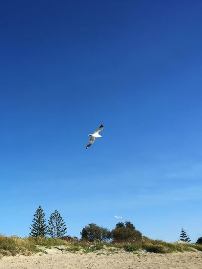 Free As A Bird .. Free Flying Bird Seagull Flying High Soaring Hovering Mid-air Blue Sky Clear Sky Nature Sunny Day Outdoors Scenics Pine Tree Sandy Beach White Sands Beach Life Life Of Freedom Breathing Space Summer Heat Summer Holidays — in Shoalwater Bay Western Australia The Week On EyeEm