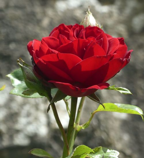 Flower Red Flower Head Nature Petal Close-up Beauty In Nature Fragility Plant Uncultivated Rose - Flower No People Growth Focus On Foreground Outdoors EyeEmNewHere Leaf Day