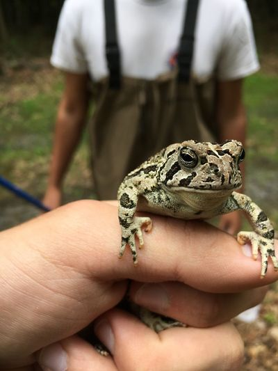 Fowler's Toad Reptile Holding Animal Wildlife One Animal Focus On Foreground Outdoors