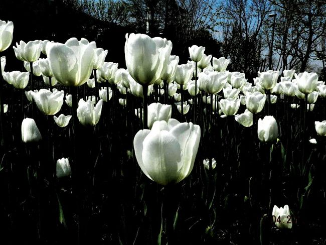 Tulips🌷 Best Place Taking Photos Hello World Black And White