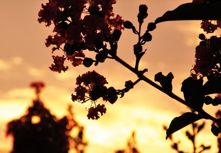 No People Outdoors Growth Nature Plant Lagerstroemia Crape-myrtle Sunlight Sky Tree Leaf Flower Silhouette