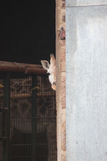 peekabooo Girrafe  Peekaboo Eyeemphotography EyeEm Best Shots EyeEmNewHere Animal EyeEm Selects Portrait Looking At Camera Cute Animal Themes Animal Eye Animal Ear Animal Nose Animal Head
