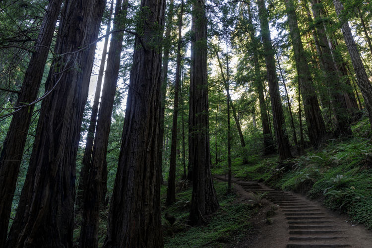 Stairs crossing coastal redwood forest at muir woods, marin county, california, usa.