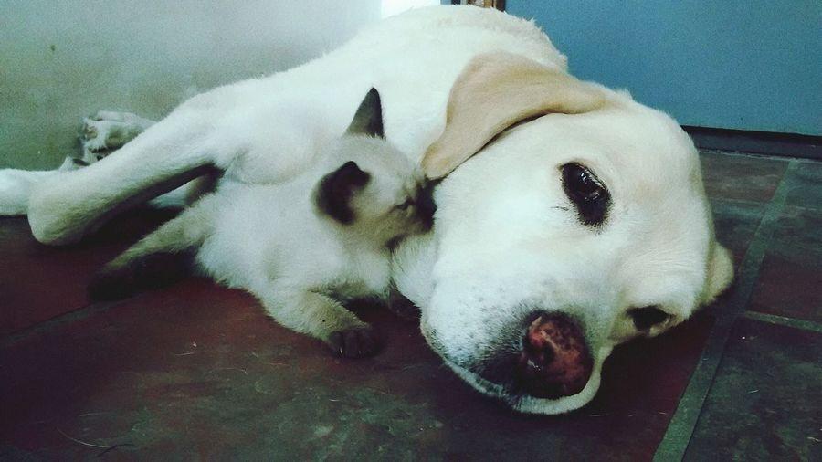 Reina Y Lolo Haciendo Amistades Labrador Retriever Siamese Cat Amigos