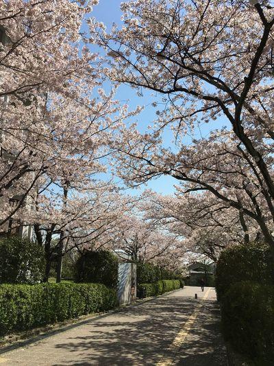 Blue Sky Cherry Blossoms Clear Sky Freshness Springtime Sunlight University Campus Walkway
