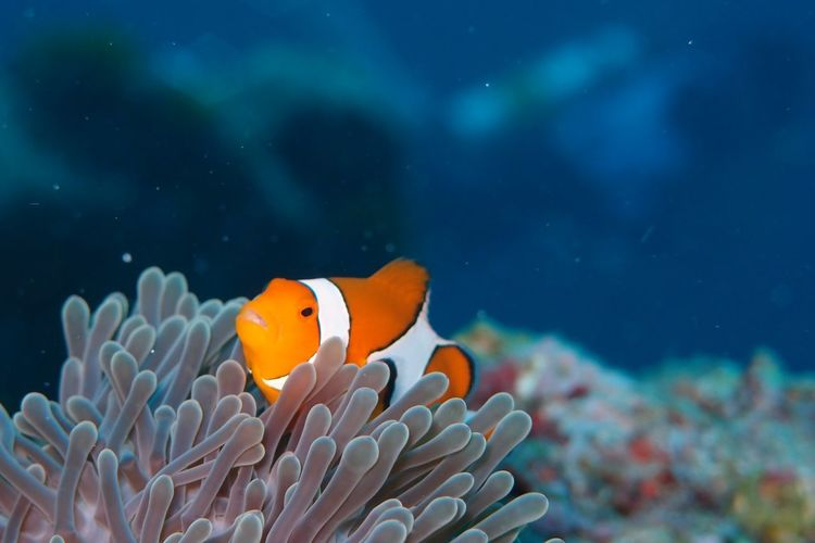 Close-up of clown fish swimming on coral in sea