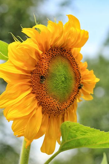 Pure Sunshine 🌞🌞 Beauty In Nature Sunflower Focus On Foreground Texture