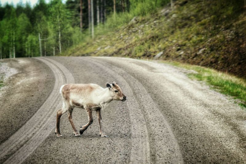 Full length of young reindeer walking on dirt road