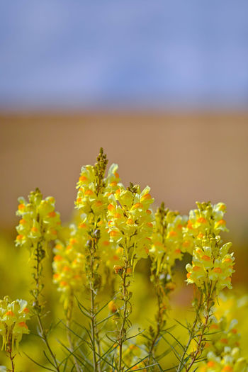 Plant Growth Beauty In Nature Yellow Nature Flower Close-up No People Land Flowering Plant Selective Focus Tranquility Landscape Focus On Foreground Day Vulnerability  Fragility Freshness Agriculture Field Outdoors Wildes Löwenmäulchn Felder Im Sommer