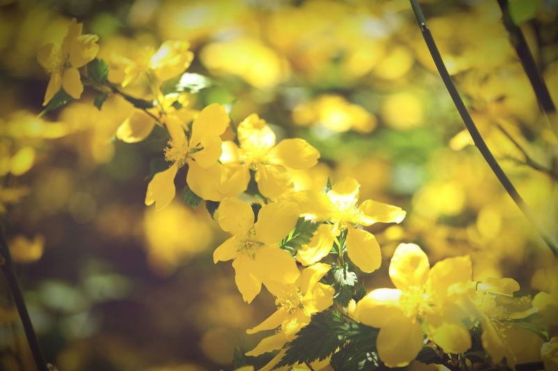 yellow natural form of kerria bush in flower. Bush Yellow Bush Kerria Japanese Kerria Springtime Spring Flowers