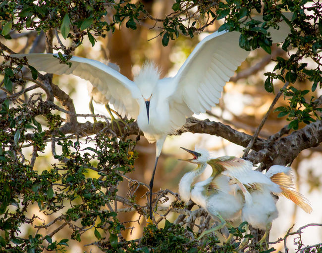 Great egrets on tree