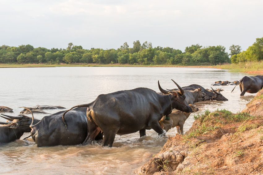 Buffalo in lake Buffalo Horizontal Riverside Swimming Water Buffalo Aisa Animal Themes Animal Wildlife Black Cow Day Domestic Group Of Animals Lake Outdoors Plant Water