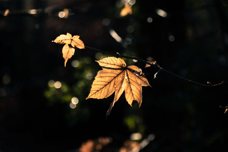 Leaf Plant Part Autumn Focus On Foreground Change Nature Close-up Plant No People Beauty In Nature Vulnerability  Dry Selective Focus Fragility Outdoors Leaf Vein Leaves Day Tree Growth Maple Leaf Natural Condition Autumn Collection RainDrop